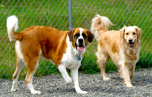 retriever_stbernard